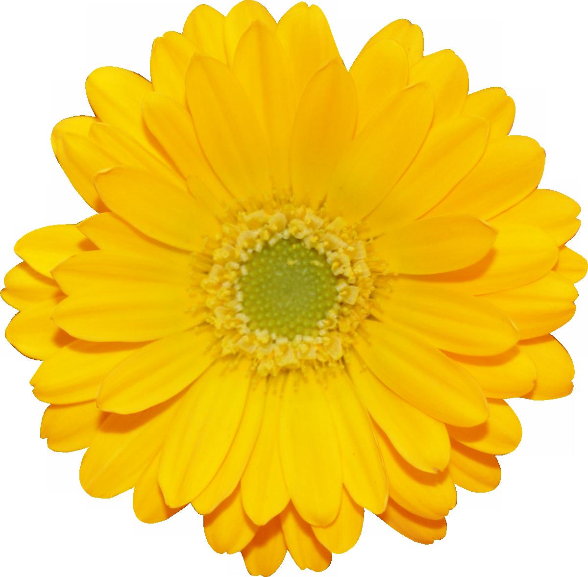 Png цветы желтые