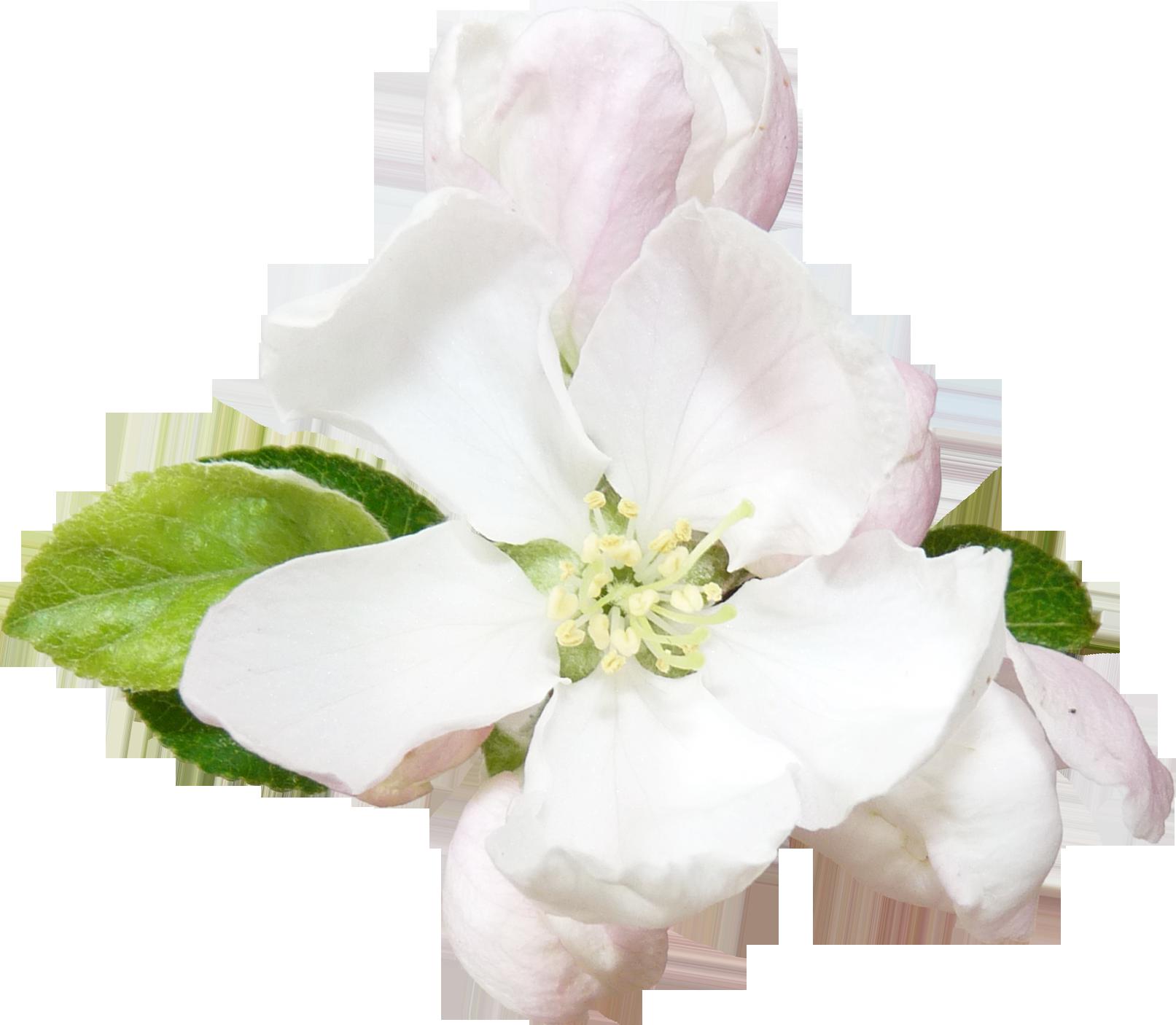 Астра цветок картинка
