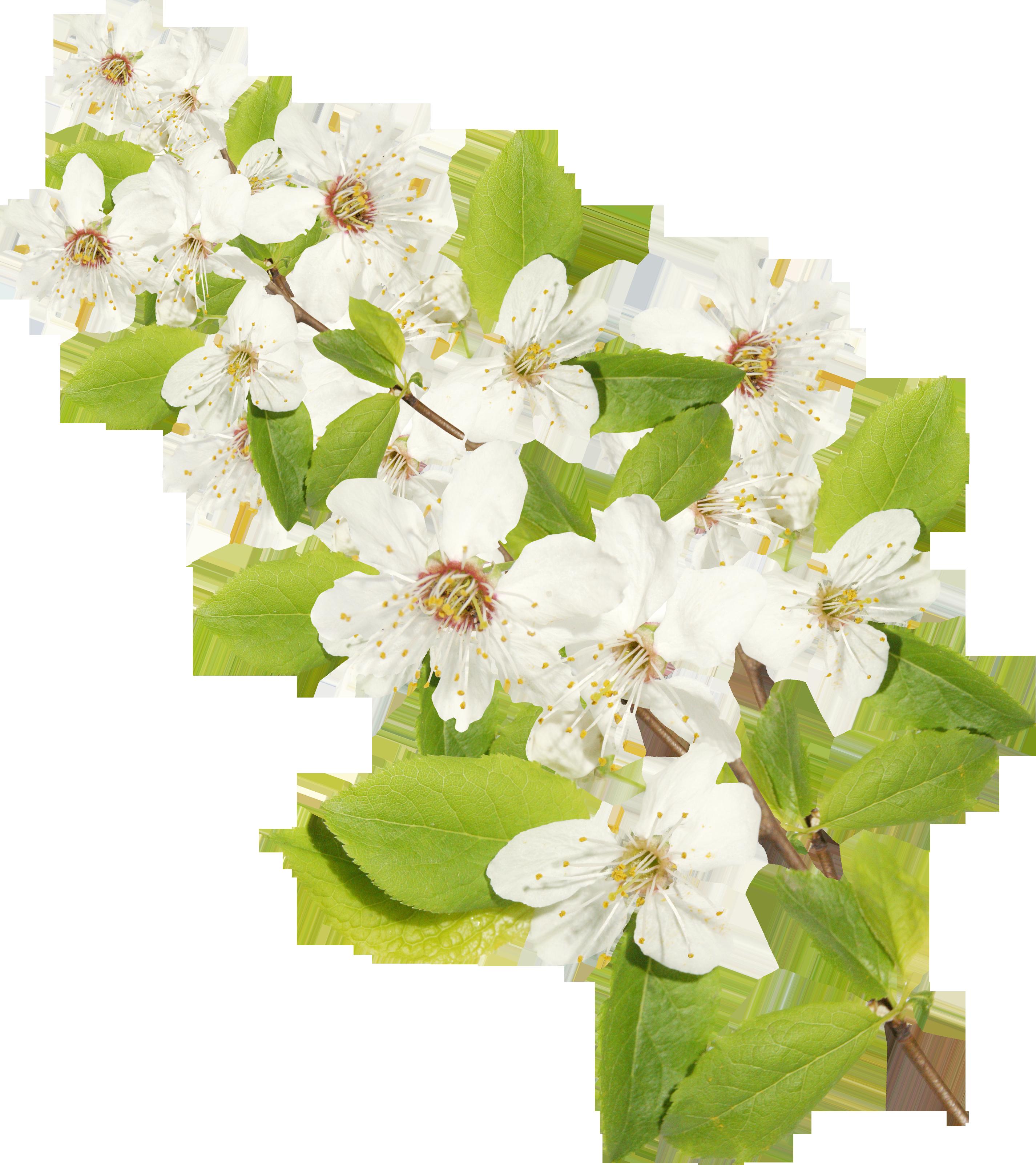 Цветок жасмин рисунки
